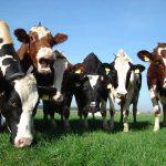 Melkveebedrijf Luyckx in Loenhout, België
